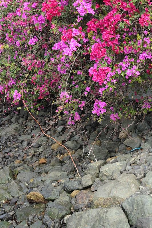 Bougainvillea spilling over the wall in Teneriffe