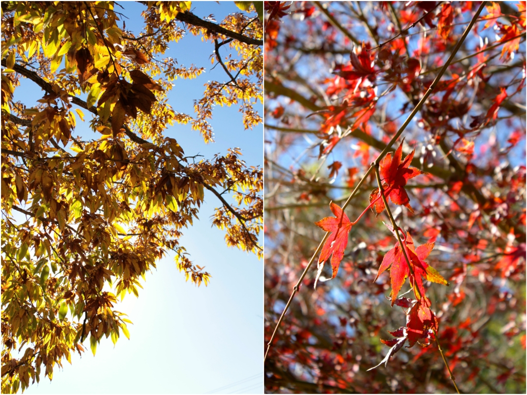 Autumn leaves in Toowoomba, Queensland