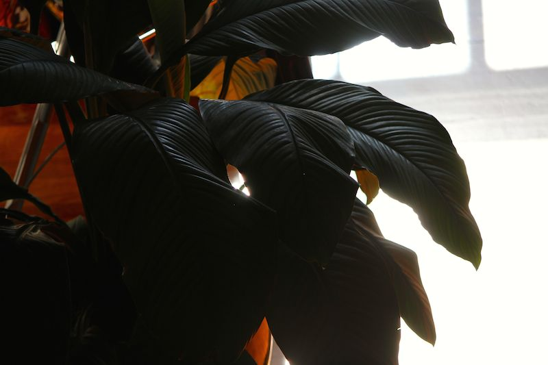 Our large peace lily, strongly backlit by the morning sun