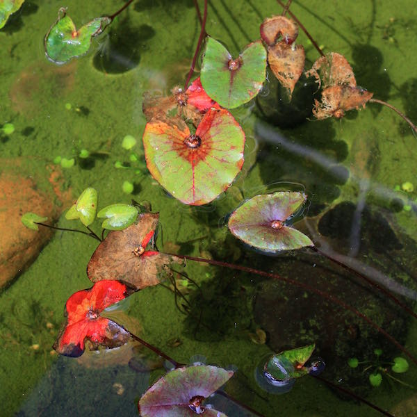 August 2014 - fish pond with waterlilies