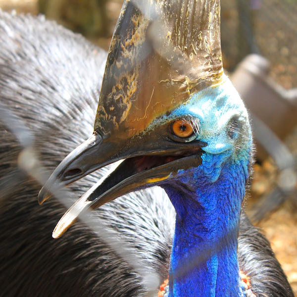 November 2014 - Cassowary at Lone Pine Koala Sanctuary
