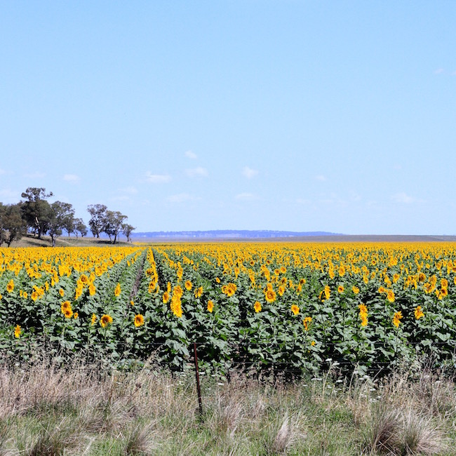 Sunflower field south of Tamworth New South Wales