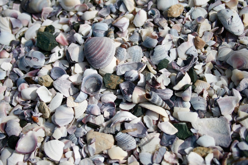 Lilac shells at Snells Beach, Matakana Coast New Zealand