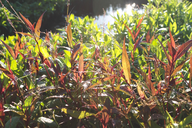 Ruby and emerald plants by the river, Far North New Zealand