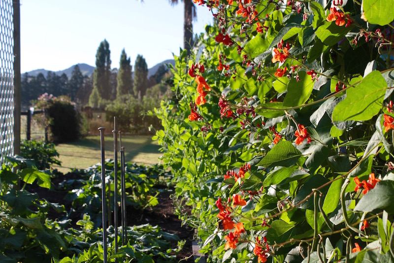 Scarlet runner beans in Mum's garden, Far North New Zealand