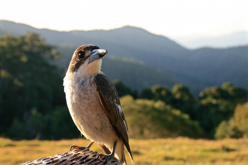 Butcher Bird in Maleny, Sunshine Coast, Australia, 2012