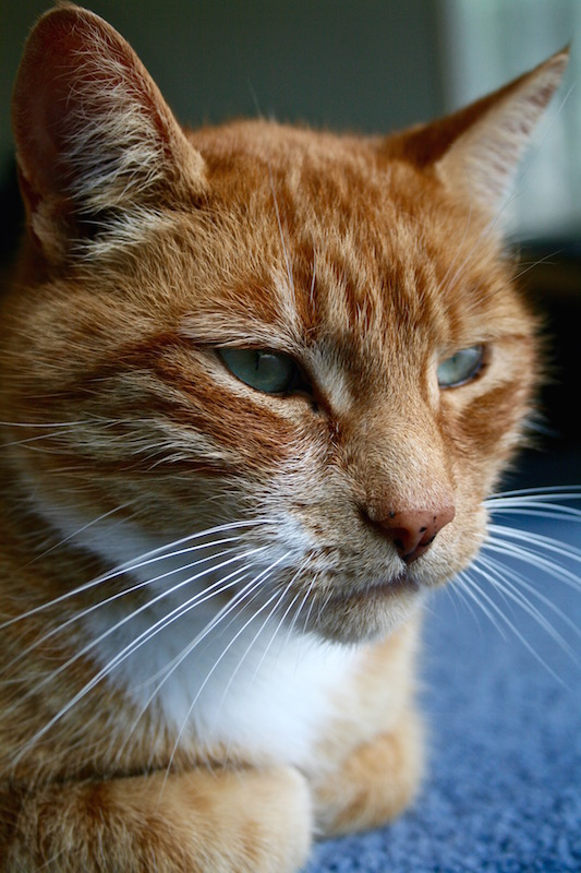 Genghis the ginger cat 2008