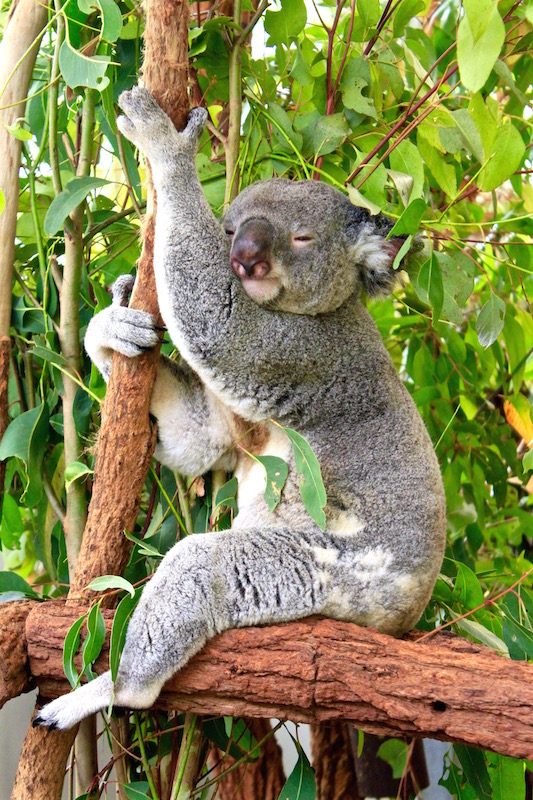 Sleepy Koala at Lone Pine Koala Sanctuary, 2014