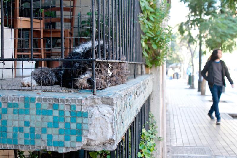 Pet dog relaxing on a street-level balcony, Barrio Lastarria, Santiago de Chile