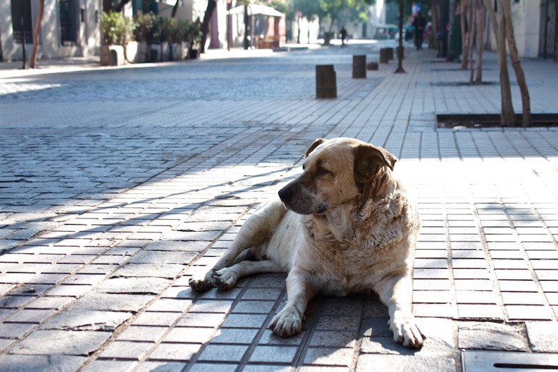 Street dog guarding his patch, Barrio Lastarria, Santiago de Chile