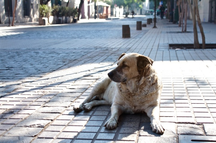 Street dog guarding his patch, Barrio Lastarria, Santiago de Chile