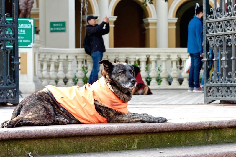 Street dog near Santa Lucia, Santiago de Chile