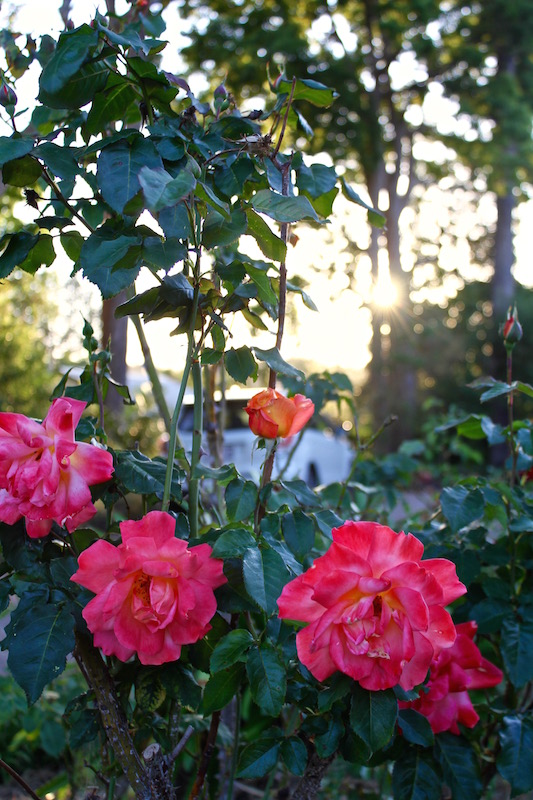 Sunrise coloured roses in the setting sun