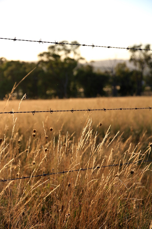 Golden grass in Stanthorpe, Southern Queensland, Australia
