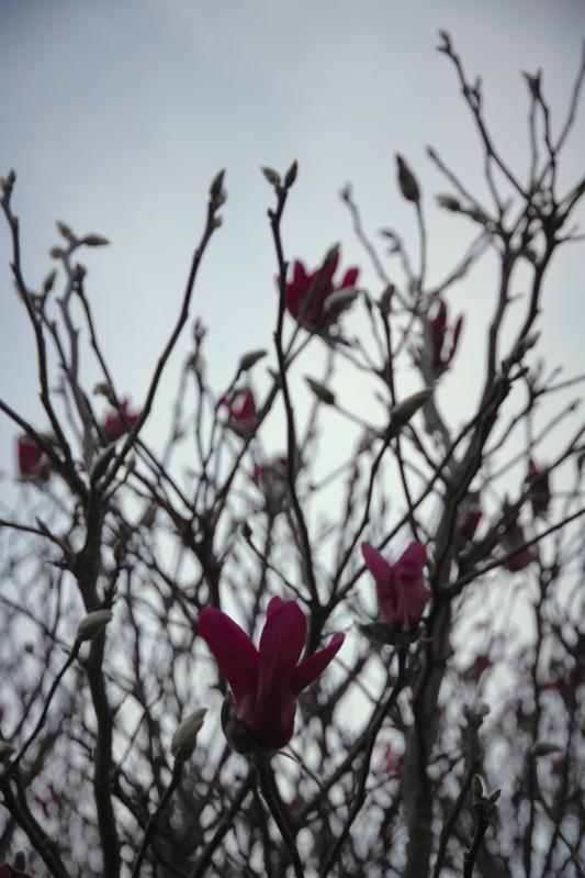 Flowering magnolia, grey day, at dusk - Far North New Zealand