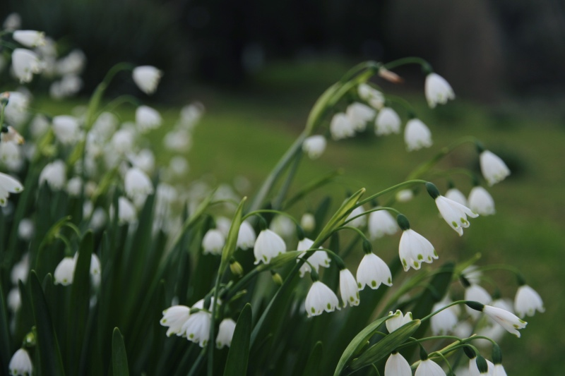 Snowdrops in the bottom paddock, Far North New Zealand