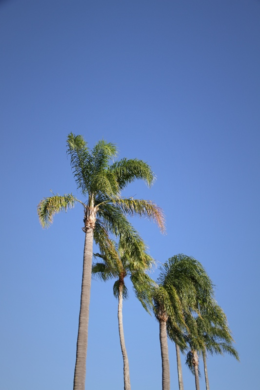 Palm trees against deep blue sky, Newstead, Brisbane