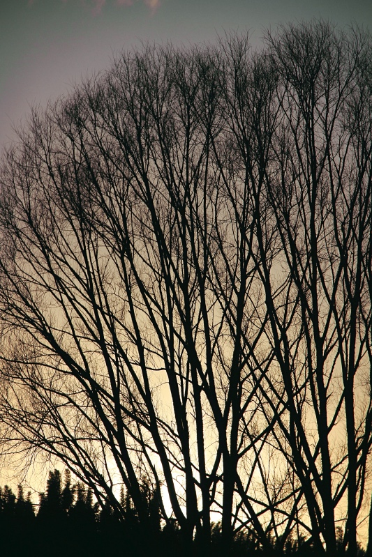 Bare winter branches at sunset, Far North New Zealand